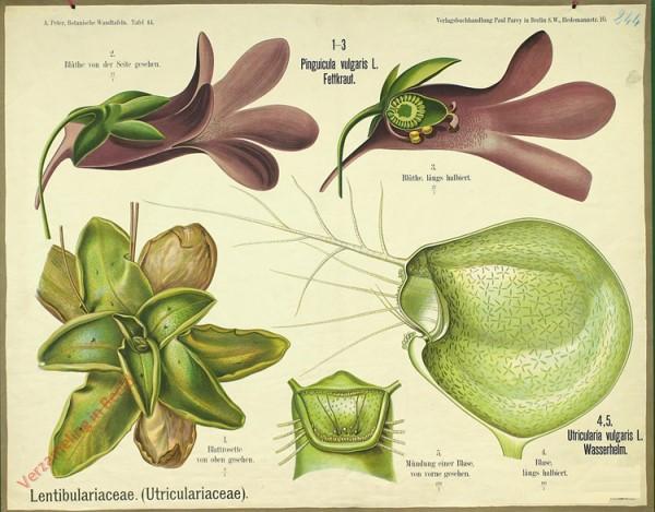 44 - Lentibulariacea