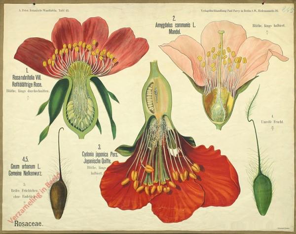 45 - Rosaceae