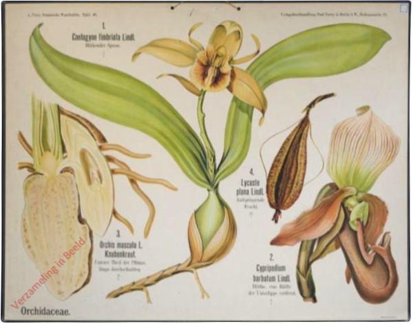 46 - Orchidaceae