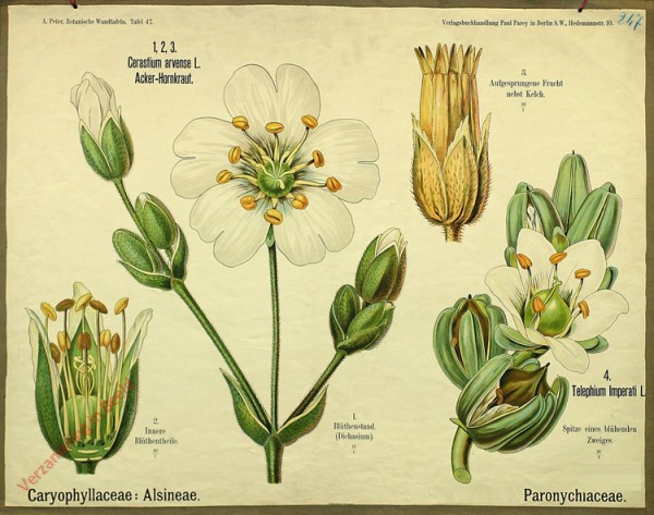 47 - Caryophyllace