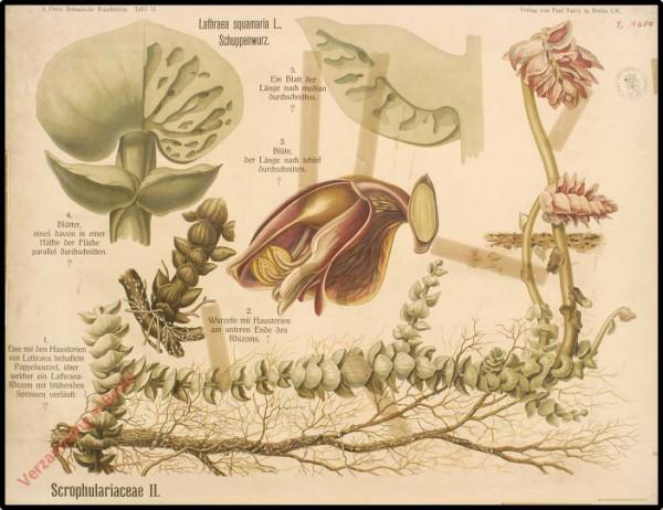 51 - Scrophulariaceae