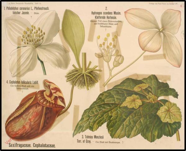 52 - Saxifragaceae, Cephalotaceae