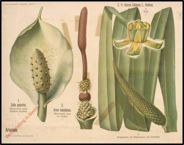 53 - Araceae