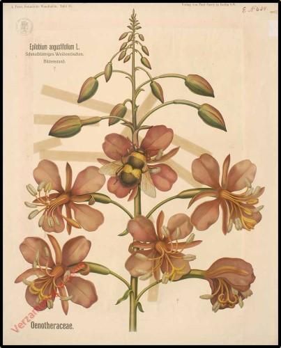 55 - Oenotheraceae