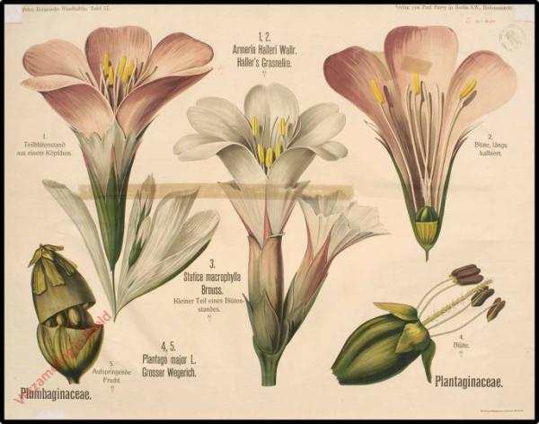 57 - Plumbaginaceae