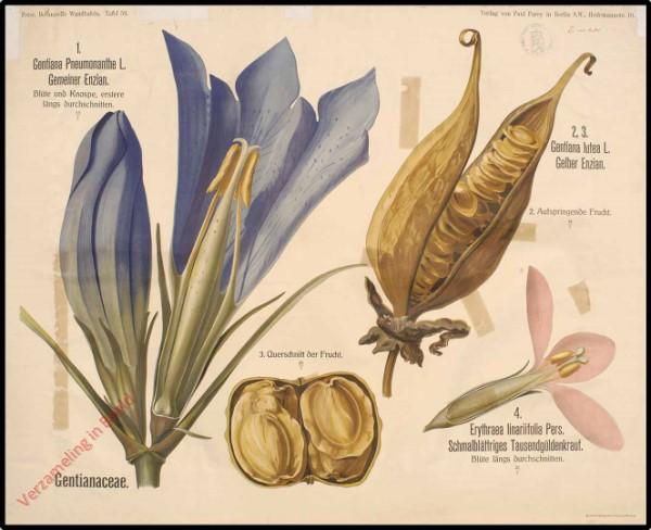 59 - Gentianaceae