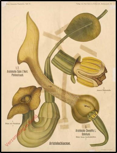 61 - Aristolochiaceae