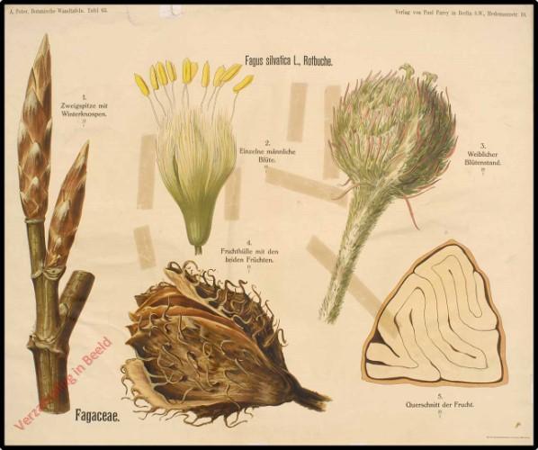 63 - Fagaceae