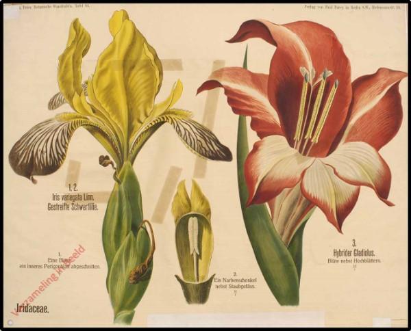 64 - Iridaceae
