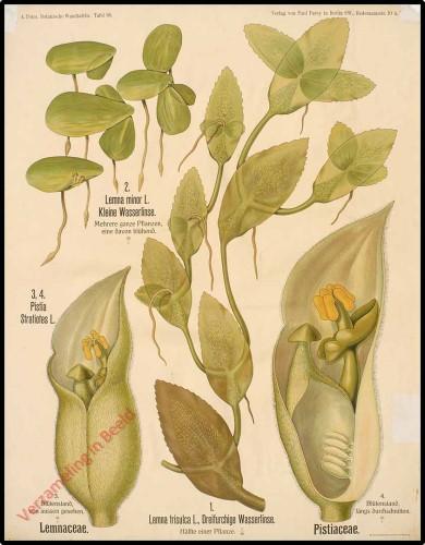 66 - Lemnaceae, Pistiaceae