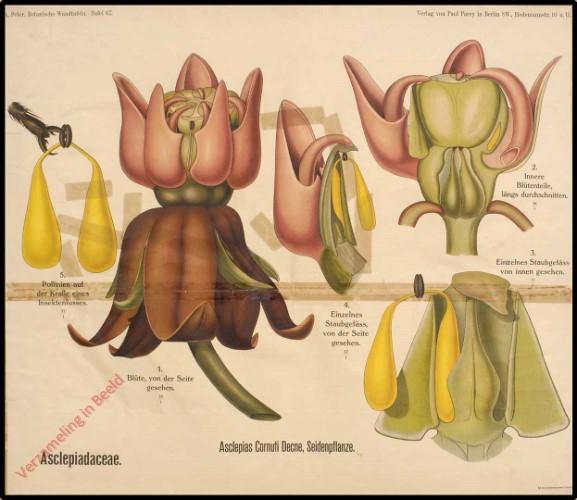 67 - Asclepiadaceae