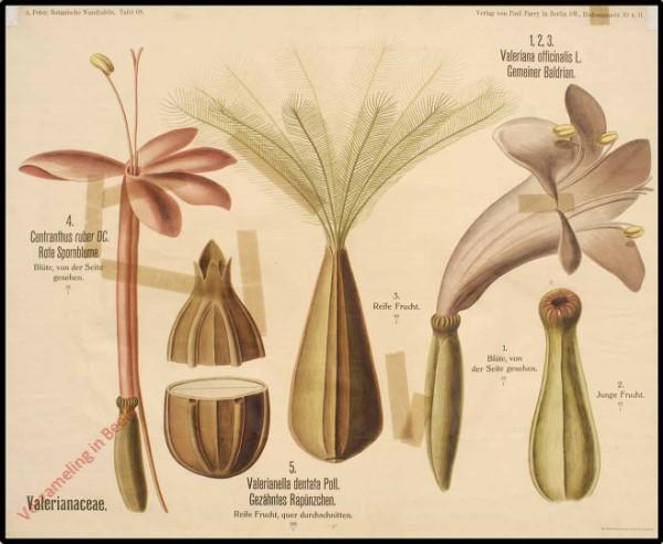 68 - Valerianaceae