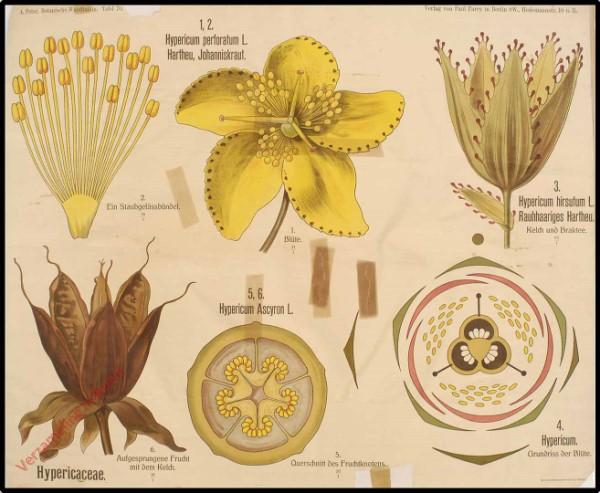 70 - Hypericaceae
