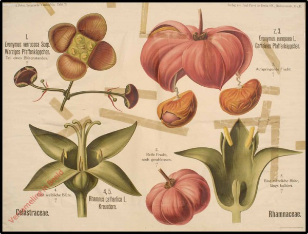 71 - Celastraceae, Rhamnaceae