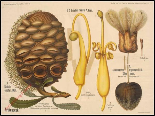 72 - Proteaceae