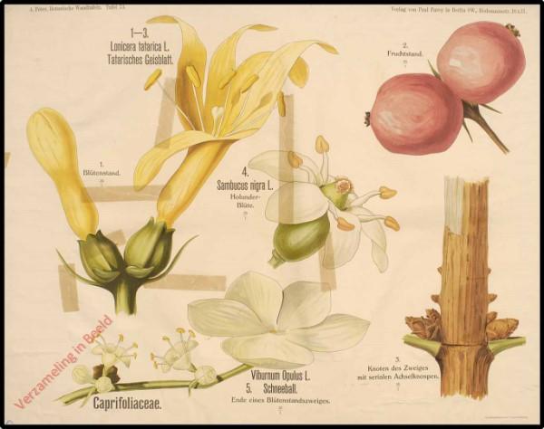 73 - Caprifoliaceae