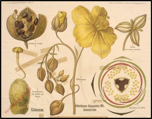 74 - Cistaceae
