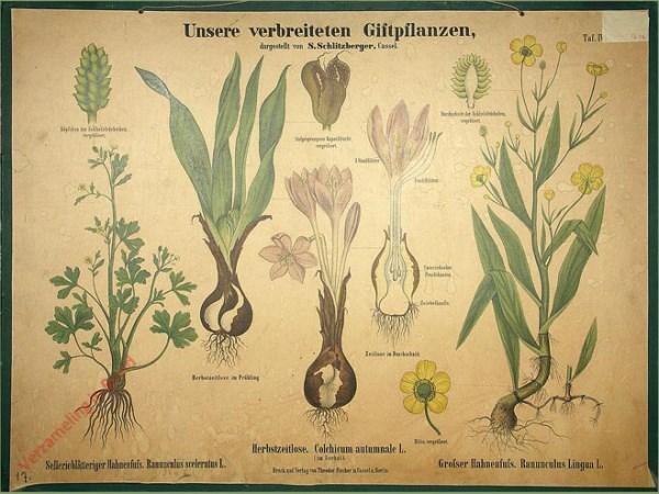 IV - Selleriebl�ttiger Hahnenfuss. Herbstzeitlose. Grosser Hahnenfuss