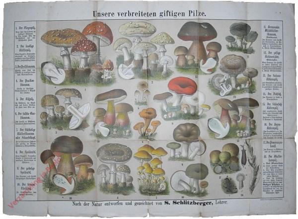 Unserer verbreiteten giftigen Pilze