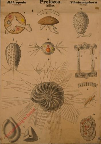 II - Protozoa. Rhizopoda. Thalamophora