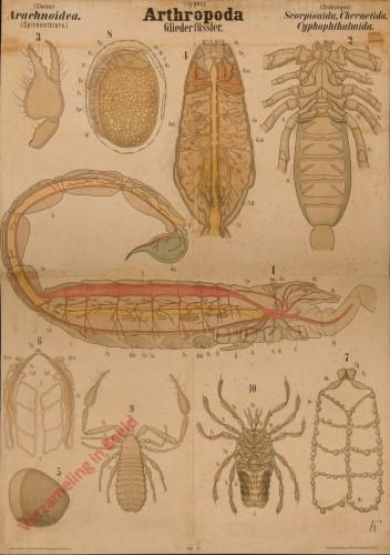 IV - Arthropoda. Crustacea. Arthrostraca (II Amphipoda)