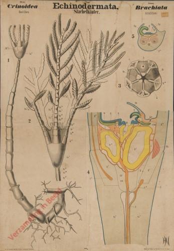 V - Echinodermata. Crinoidea Brachiata