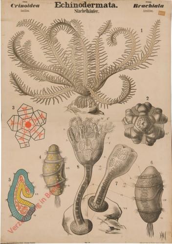 VII - Echinodermata. Crinoidea. Brachiata