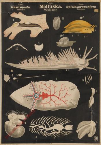 VIII - Molluska. Gastropoda. Opisthobranchiata