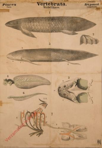 X - Vertebrata. Pisces. Dipnoi