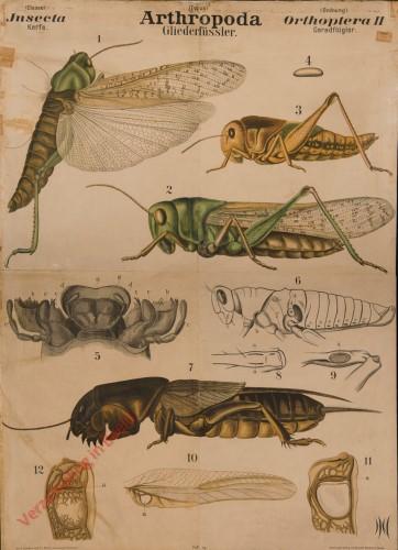 XI - Arthropoda Insecta. Orthoptera II