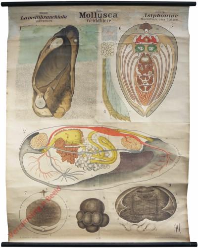 XII - Mollusca Lamellibranchiata. Asiphoniae
