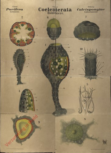XIII - Coelenterata. Porifera. Calcispongiae