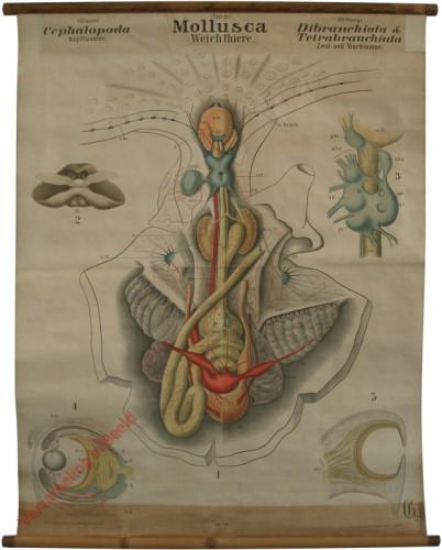 XIV - Mollusca. Cephalopoda. Dibranchiata & Tetrabranchiata