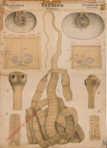 XV - Vermes. Platodes. Cestodes