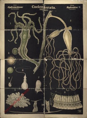 XVI - Coelenterata. Hydromedusae. Hydroidea