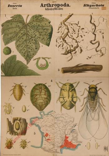 XVII - Arthropoda. Insecta. Rhyncota