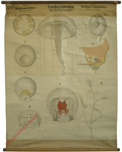 XVIII - Coelenterata. Hydromedusae. Medusae craspedotae