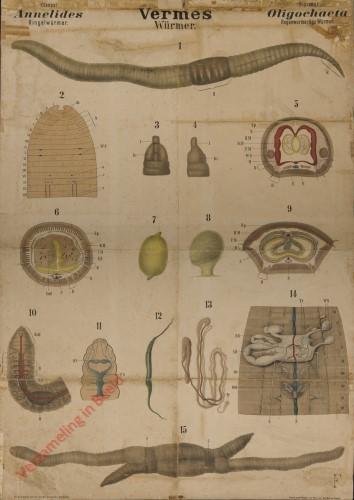 XIX - Vermes. Annelides. Oligochaeta