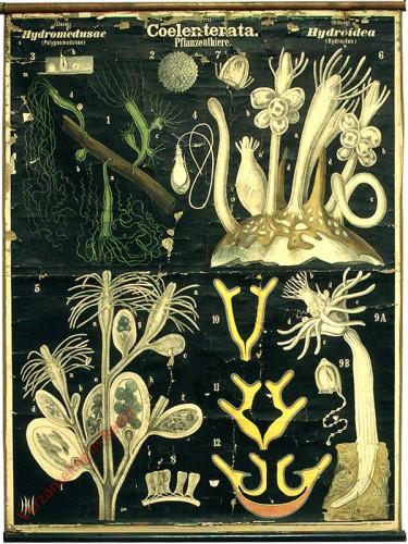 XX - Coelenterata. Hydromedusae. Hydroidea