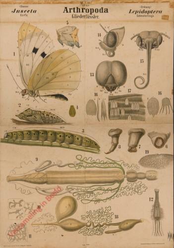 XXI - Arthropoda. Insecta. Lepidoptera
