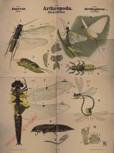 XXII - Arthropoda. Insecta. Orthoptera (III)