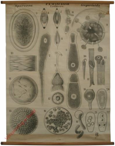 XXIII - Protozoa. Sporozoa. Gregarinida