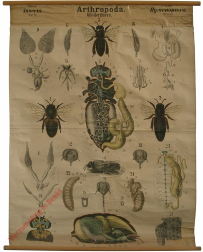 XXVII - Arthropoda. Insecta. Hymenoptera