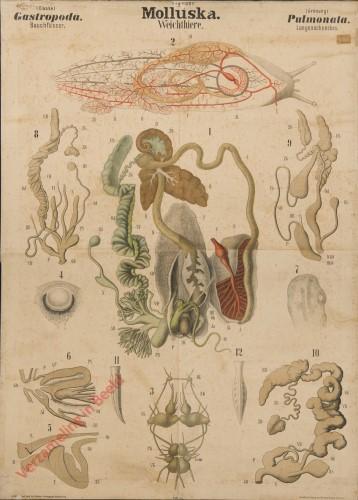 XXX - Molluska. Gastropoda. Pulmonata
