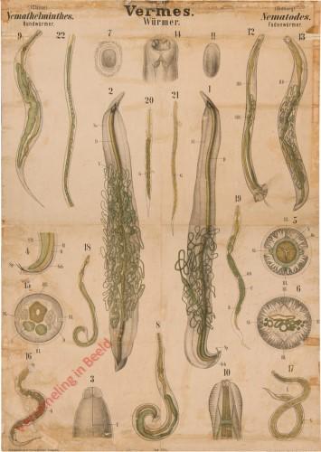 XXXI - Vermes. Nemathelminthes. Nematodes
