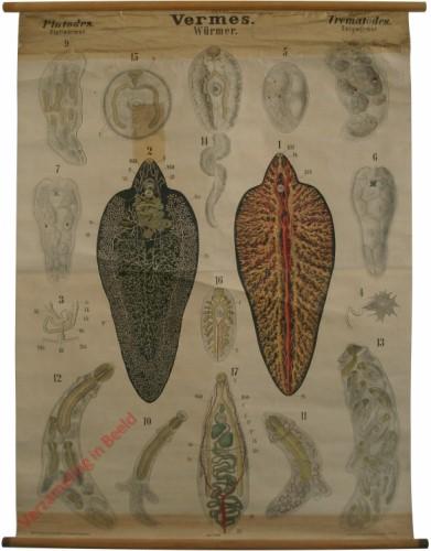XXXIII - Vermes. Platodes. Trematodes