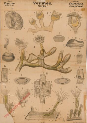 XXXIV - Vermes. Bryozoa. Entoprocta. Ectoprocta.