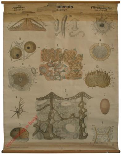 XXXV - Coelenterata. Porifera. Fibrospongiae