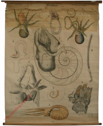 XXXVI - Molluska. Cephalopoda. Tetrabranchiata, Dibranchiata
