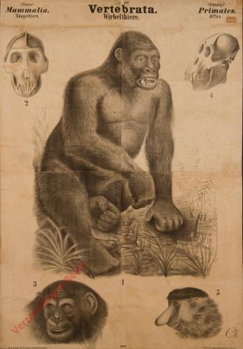 XXXVII - Vertebrata. Mammalia. Primates